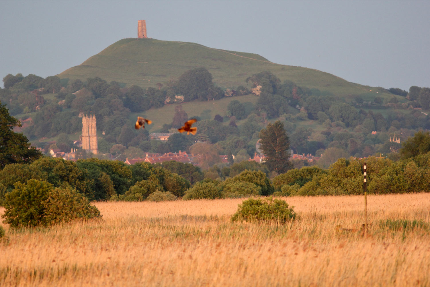 marsh-harriers