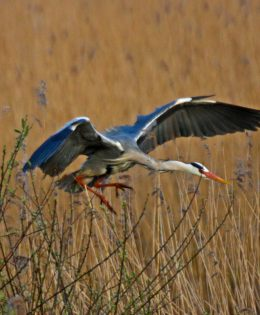 heron-photograph