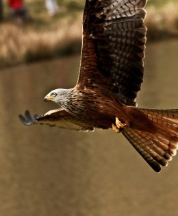 red-kite-picture