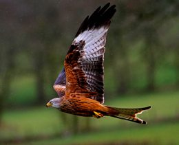 red-kite-smaller-print